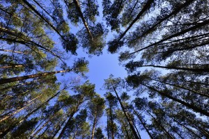 tree tops and sky viewed from forest floor