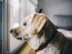 yellow lab looking out a home window